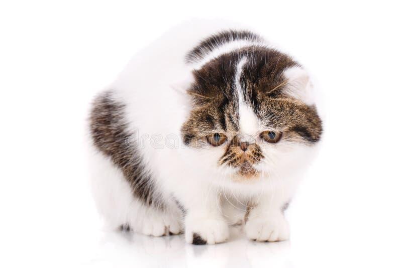 Gato exótico do shorthair, fotos de stock