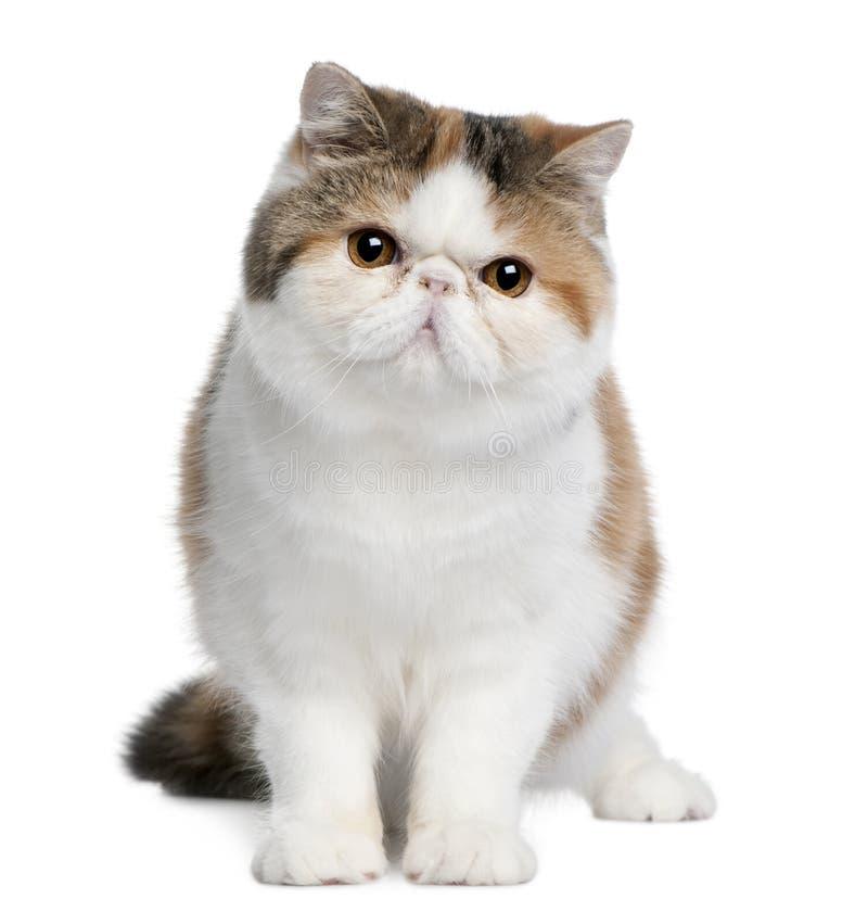 Gato exótico do shorthair, 8 meses velho imagens de stock royalty free