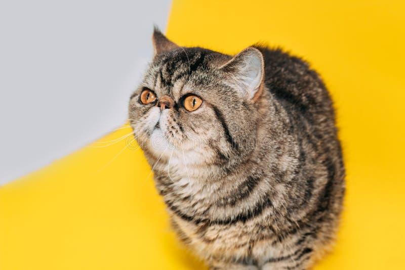 Gato exótico do shorthair com olhos amarelos em um fundo amarelo fotos de stock royalty free