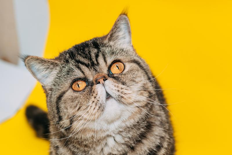 Gato exótico do shorthair com olhos amarelos em um fundo amarelo imagens de stock royalty free