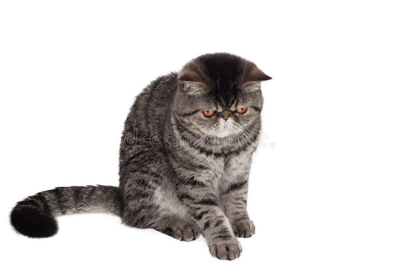 Gato ex?tico do shorthair que senta-se e que olha para baixo Isolado em um fundo branco foto de stock royalty free