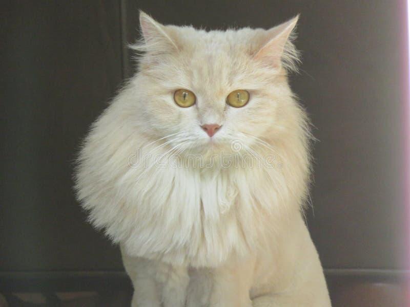 Gato exótico persa de la mezcla imagen de archivo