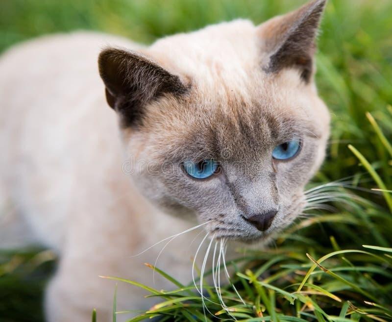 Gato Eyed Azul Fotos de Stock Royalty Free
