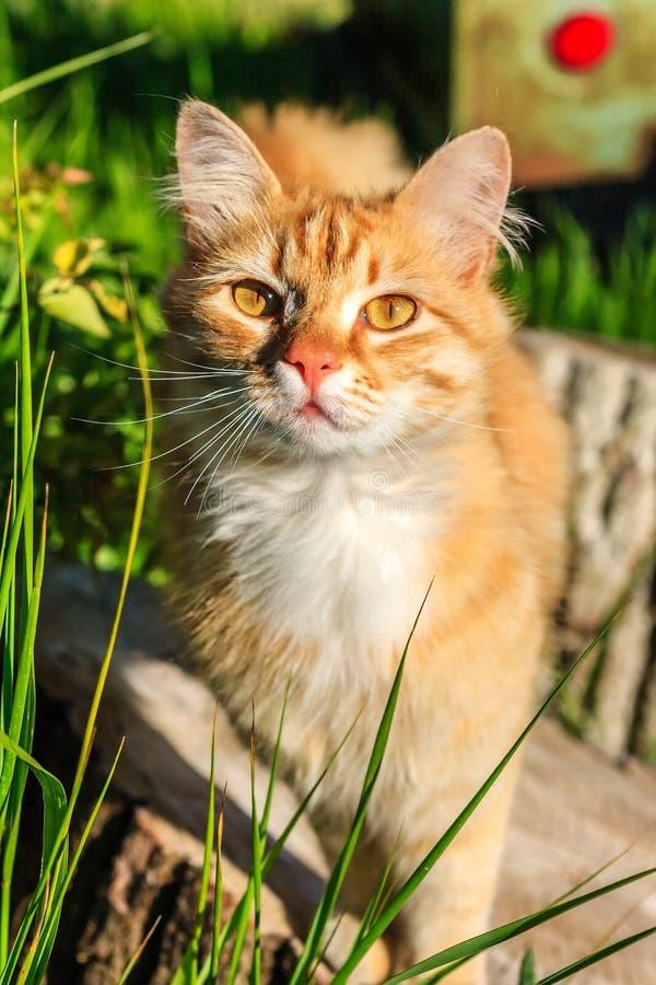 Gato fêmea vermelho consideravelmente curioso bonito que levanta fora para a câmera no campo no por do sol imagem de stock