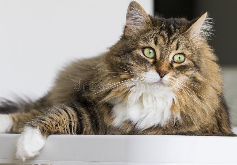 Gato fantástico en la casa que mira hacia fuera, gato de gato atigrado marrón fotografía de archivo libre de regalías