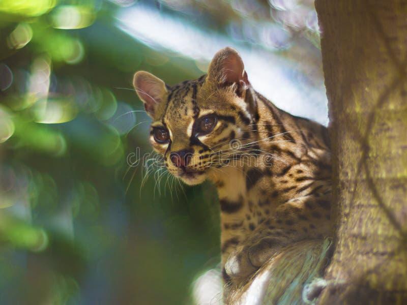 Gato felino de Margay fotografia de stock