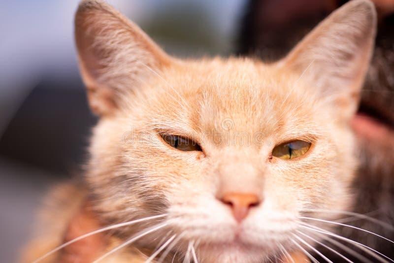 Gato feliz El gato rojo hermoso mira en la c?mara Comida de las palmaditas para la salud de los animales Retrato de un gatito tri imágenes de archivo libres de regalías