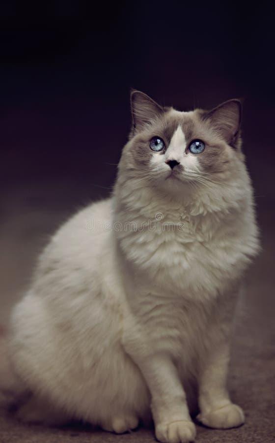 Gato femenino blanco hermoso del gato del ragdoll de los ojos azules imágenes de archivo libres de regalías