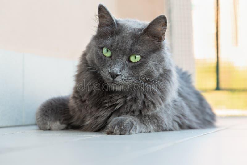 Gato femenino de Nebelung fotografía de archivo