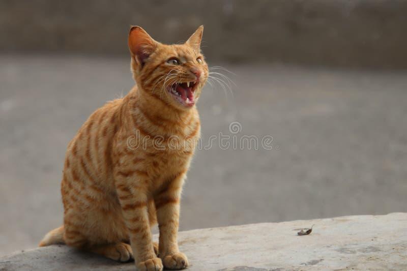 Gato feroz que mostra seus dentes afiados imagem de stock