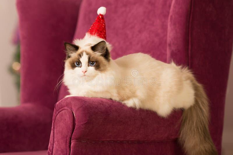 Gato Festa de Natal, gato dos feriados de inverno com caixa de presente Gato do ano novo árvore de Natal no fundo interior imagem de stock