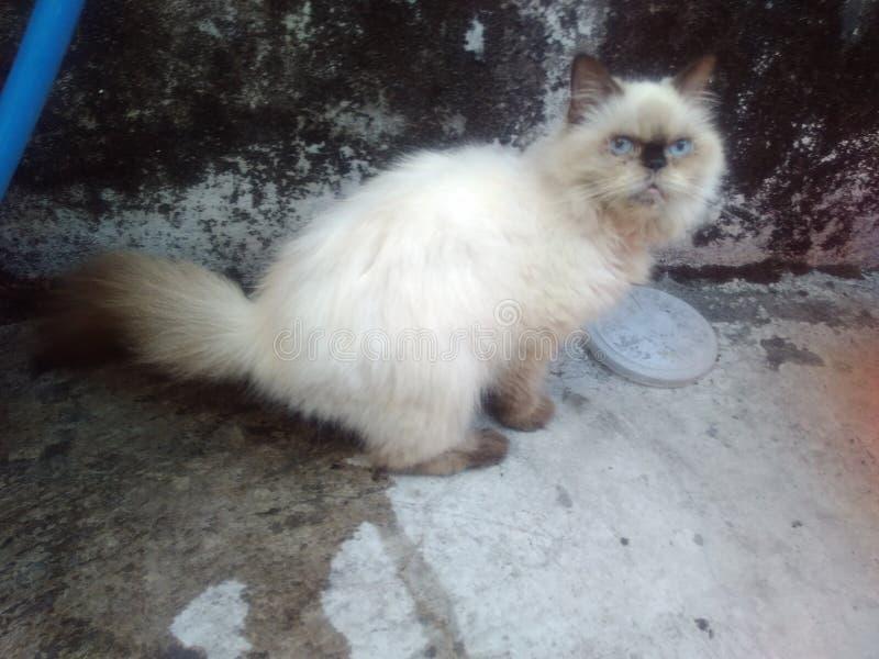 Gato flatnose Himalayan imagen de archivo