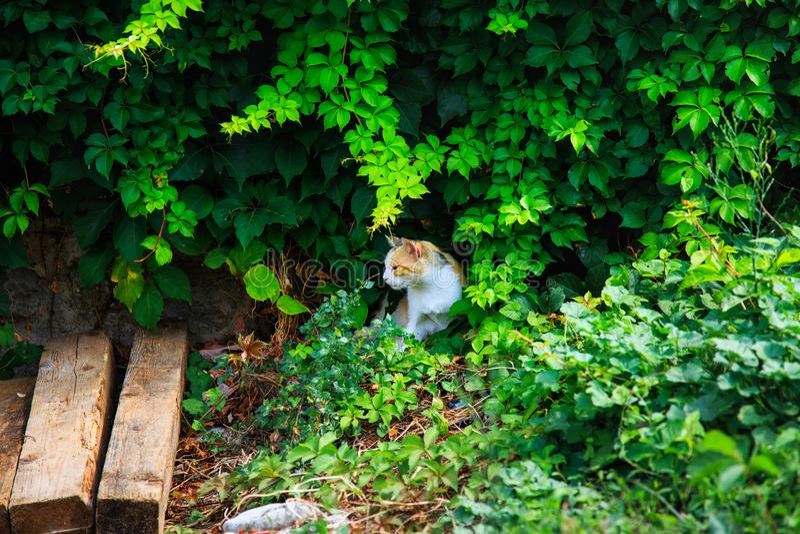 Gato fora no verão O gato vermelho esconde no arbusto sob as folhas foto de stock royalty free