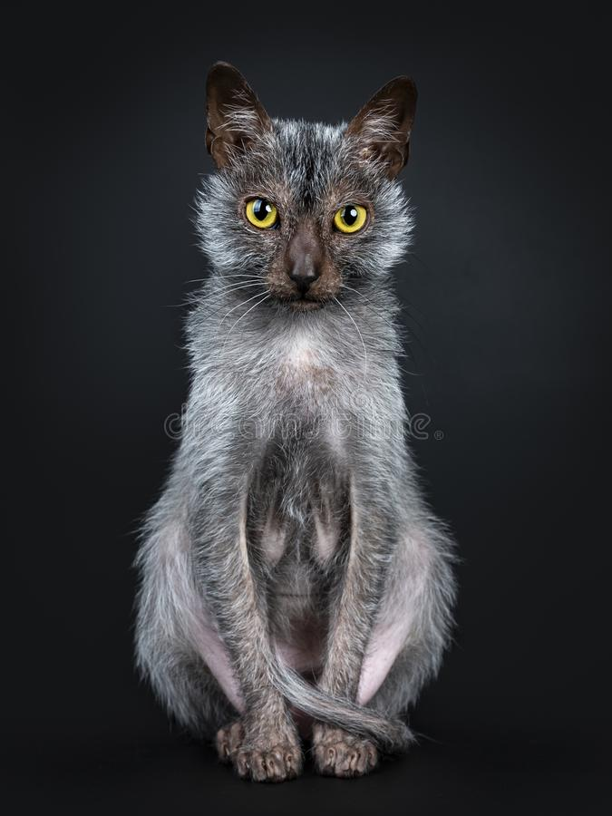 Gato fresco de Lykoi no fundo preto fotos de stock royalty free