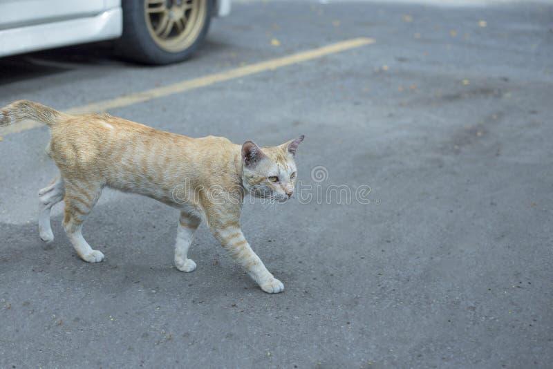 gato gasto tailandês Creme-colorido do cabelo curto que anda em uma rua imagem de stock