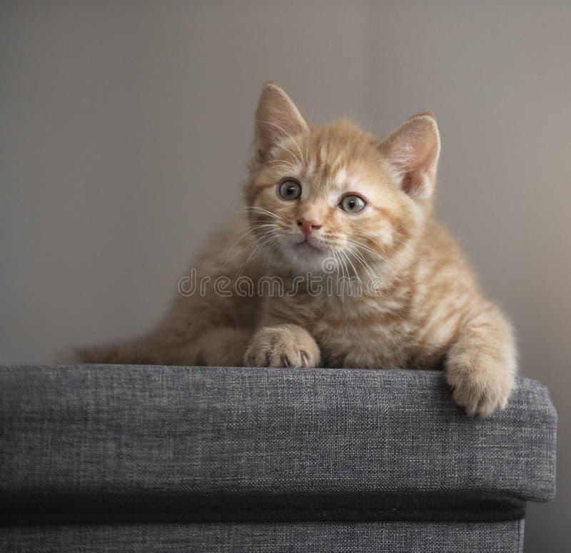 Gato gatinho gengibre bonito imagens de stock royalty free