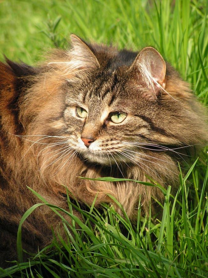 Gato (gato noruego del bosque) en la hierba, fotos de archivo libres de regalías