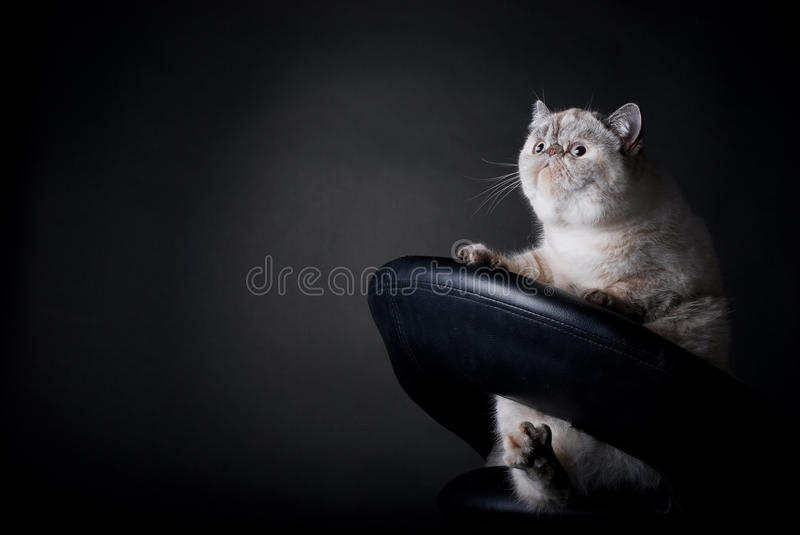 Gato gordo foto de stock royalty free