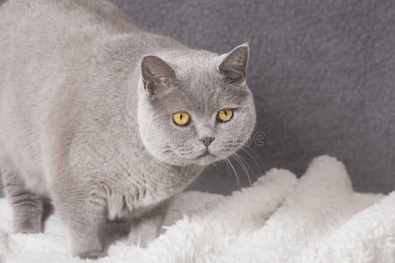 Gato gordo na cobertura imagem de stock