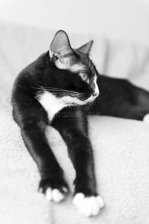 Gato gordo preto e branco bonito Com espaço da cópia foto de stock