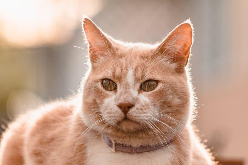 Gato gordo que mira hacia fuera en puesta del sol imagen de archivo