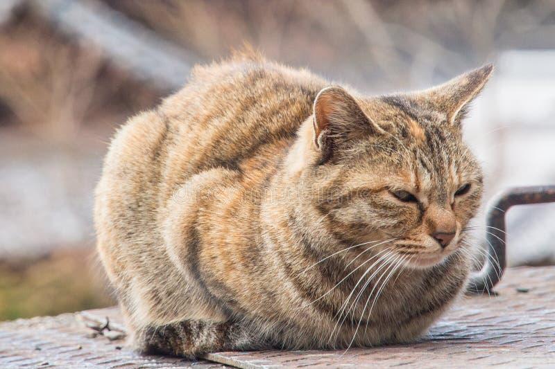 Gato gordo sonolento que senta-se redondamente fotografia de stock royalty free