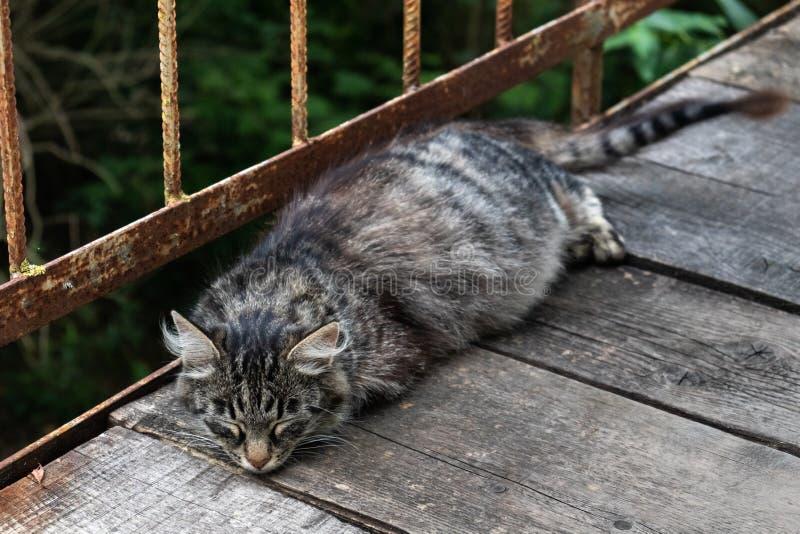 Gato grávido que dorme na ponte velha de placas de madeira foto de stock royalty free