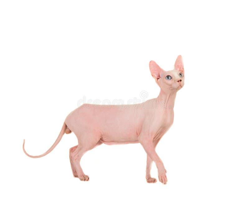 Gato gracioso desnudo de la esfinge que camina y que mira para arriba fotografía de archivo libre de regalías