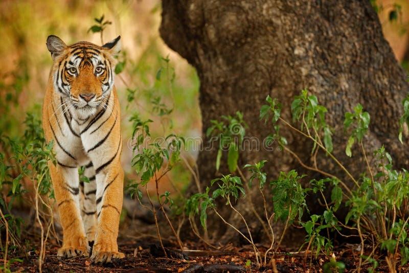 Gato grande, animal posto em perigo escondido no fim da floresta da estação seca Tigre que anda na vegetação verde Ásia selvagem, fotos de stock
