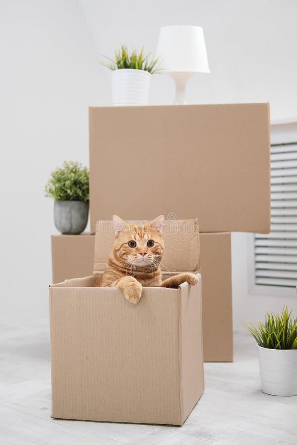 Gato grande rojo que se sienta en una caja de cartón en el fondo del cuarto blanco fotografía de archivo