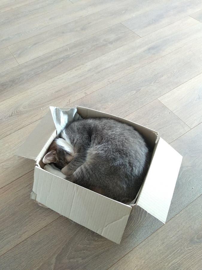 Gato gris acurrucado en una caja de cartón imagen de archivo