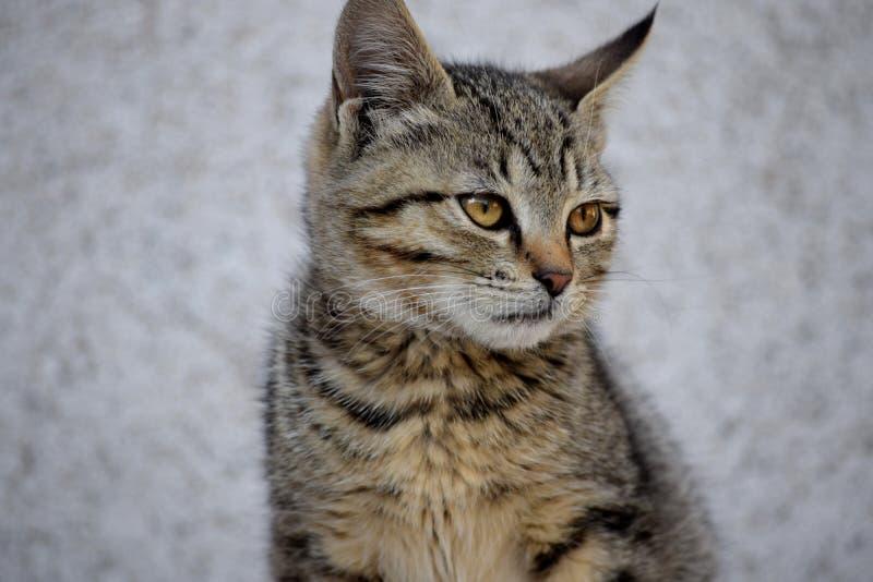 Gato gris adorable aislado en un primer gris del fondo imagen de archivo