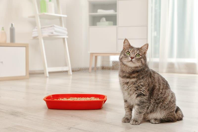 Gato gris adorable cerca de la caja de arena dentro fotos de archivo