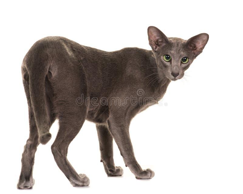 Gato gris bastante siamés que se va y que mira detrás imágenes de archivo libres de regalías