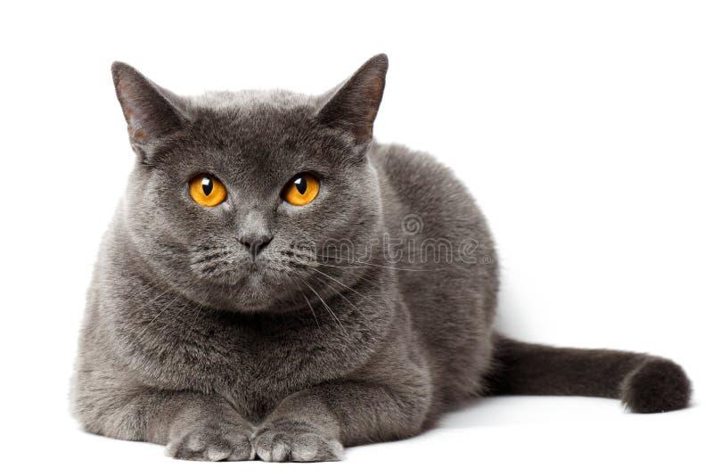 Gato gris británico que se sienta delante del fondo blanco foto de archivo