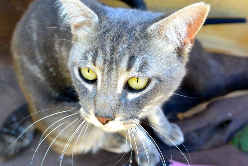 Gato gris con los ojos amarillos fotografía de archivo libre de regalías