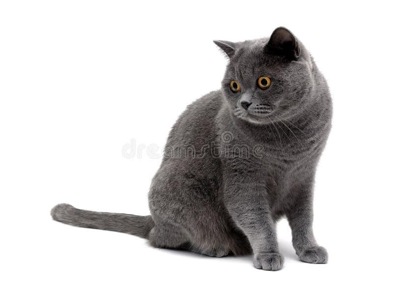 Gato gris con los ojos del amarillo aislados en un fondo blanco imágenes de archivo libres de regalías
