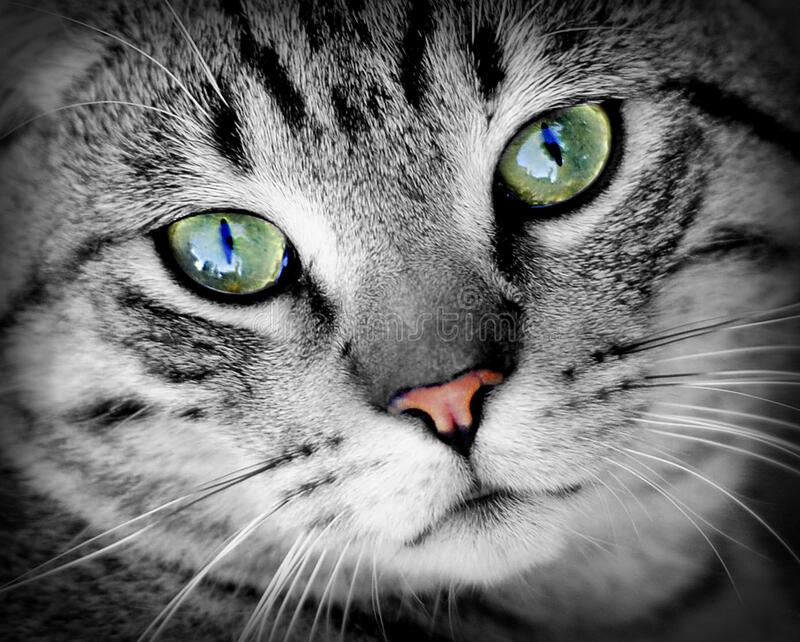 Gato gris con los ojos verdes fotografía de archivo libre de regalías