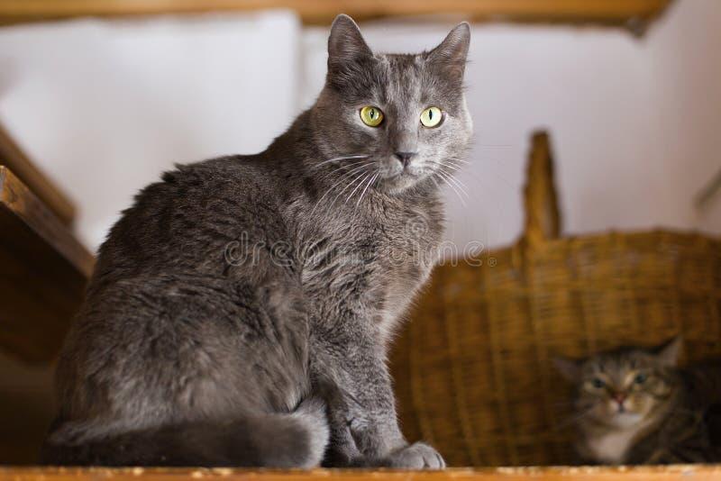 Gato gris de Arge con los ojos amarillos fotografía de archivo libre de regalías