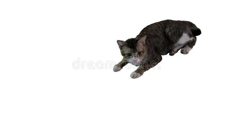 Gato gris de pelo corto de mentira con un bozal blanco y patas blancas Aislado Fondo blanco imagenes de archivo