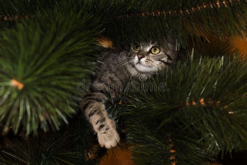 Gato gris en el árbol de navidad foto de archivo
