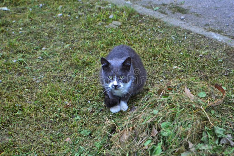 Gato gris en la hierba imagenes de archivo