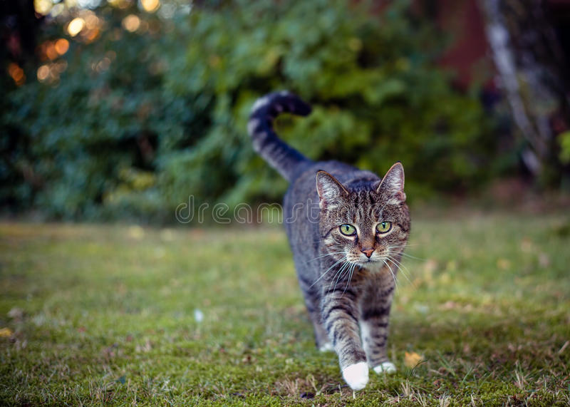 Gato gris en su área en la caza fotografía de archivo
