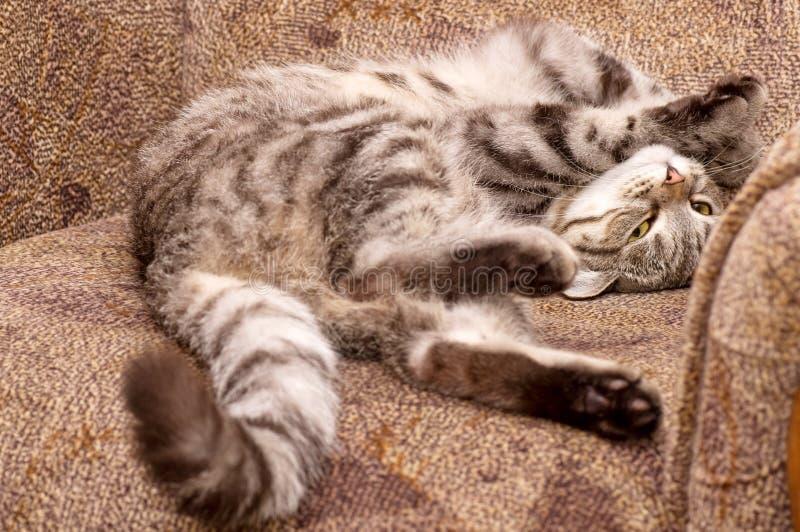 gato gris Escocés-recto fotos de archivo libres de regalías