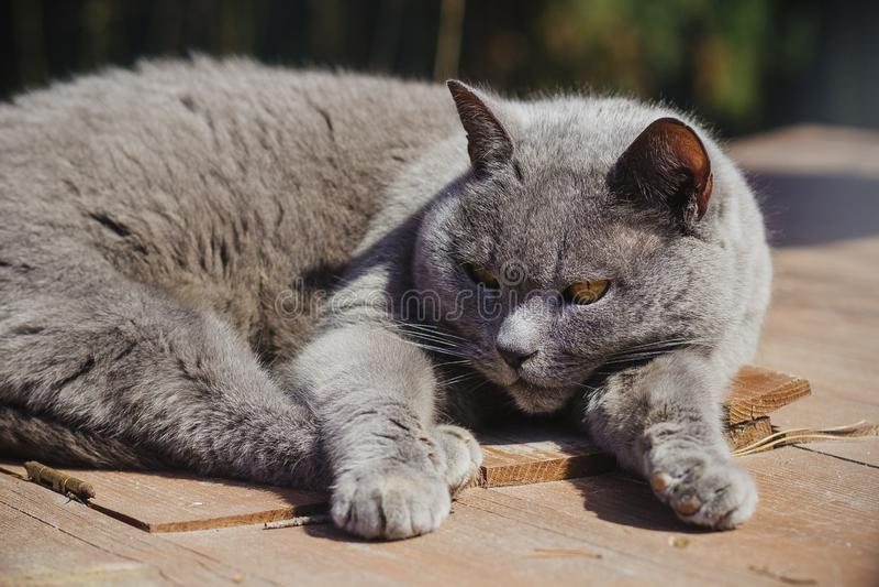 Gato gris grande en la yarda imagen de archivo libre de regalías