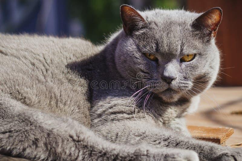 Gato gris grande en la yarda imagenes de archivo