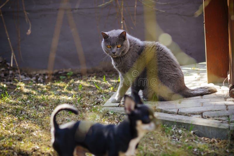 Gato gris grande en la yarda imágenes de archivo libres de regalías