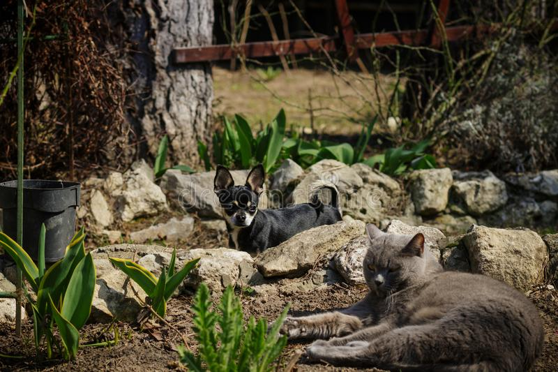 Gato gris grande en la yarda fotos de archivo