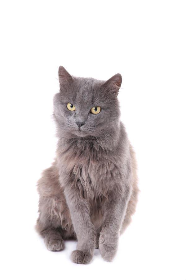 Gato gris hermoso aislado en un fondo blanco imagen de archivo libre de regalías
