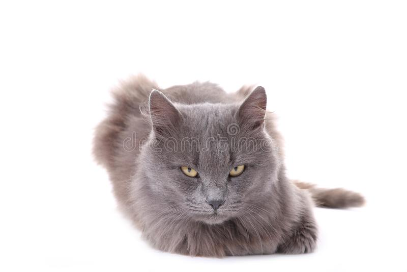 Gato gris hermoso aislado en un fondo blanco foto de archivo